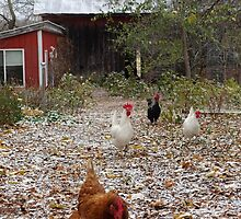 Chickens: first snow dusting by Nina Camic