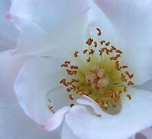 Iceberg Rose by jenndes