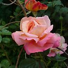 Another Rose by tarabas57