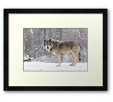 A lone Timber Wolf in the snow Framed Print