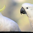 sulphur - crested  cockatoo's by Trish Threlfall