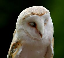Barn owl by dompech