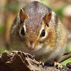 Chubby Chipmunk by lorilee
