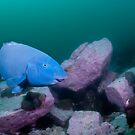 Blue Groper, green water by Erik Schlogl