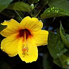 Yellow Hibiscus by Maria A. Barnowl