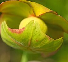 Pitcher Plant Flower by Mary  Lane