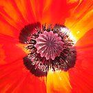 Poppy Close... by John Gilluley