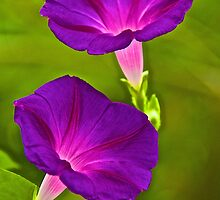 Morning Glories by John Butler