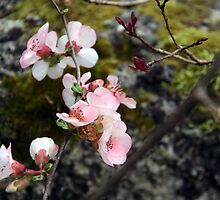 Quince buds by mockbird