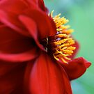 Red Dahlia by Jenny Haskey