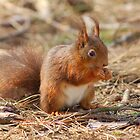 Red Squirrel by Manuel Gonçalves