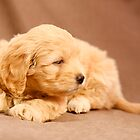 Golden Puppy by Caroline Telfer