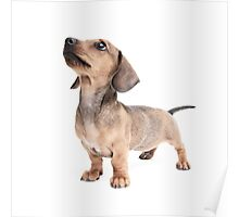 Dachshund Standing Tall Poster