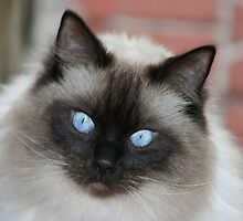 Harry my Gorgeous Ragdoll Cat by shirlea62