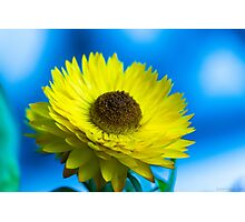 Strawflower Photographic Print