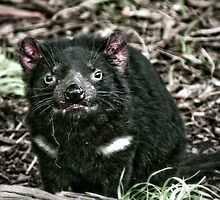 Tasmanian Devil by Kelly McGill