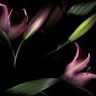 Lilium by Teresa Gaudio