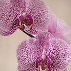 Pink Orchid by Annie Finn