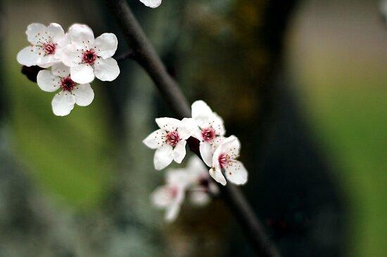 Sakura bloom by capturition
