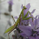 Praying Mantis on lavender by heavenscent