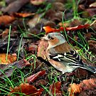 Male Chaffinch  by larry flewers
