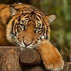 Sumatran Tiger by Danielle  Miner