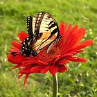 Giant Swallowtail by EmmaLeigh