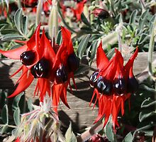 Sturt Desert Pea. by Ross Campbell