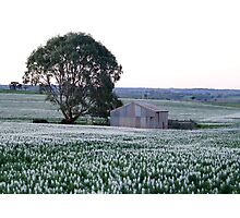 Shed with Lupins Photographic Print