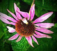 Echinacea by Erika Benoit