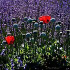 Lavender Field Poppies by Maria A. Barnowl