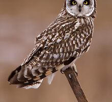 Short Eared Owl by Rob Whiting
