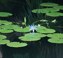 Water Lily by wolfllink