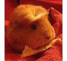 Brenda the Guinea Pig Photographic Print