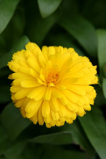 Yellow Chrysanthemum IV by Gary L   Suddath