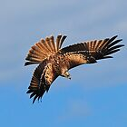 Red Kite diving by Mark Holderness