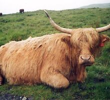 Muckle Coo (Highland Cow) by blod