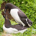 Mr & Mrs Razorbill sharing a private moment by Christopher Cullen