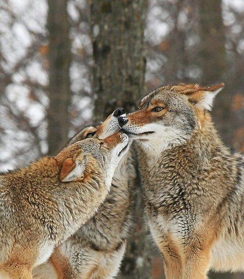 prairie wolves kissing by Shell Spillenaar