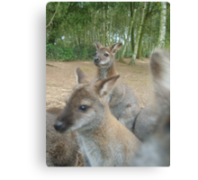 Wallaby in the picture? Canvas Print