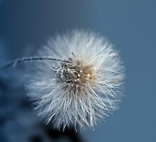 Dandelion Blues by Lesley Smitheringale