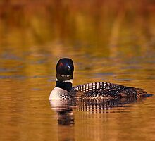 On Golden Pond - Common Loon by Jim Cumming