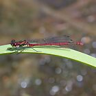 Large Red Damselfly by cappa