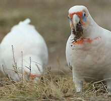 Long-Billed Corellas (2) by Wildpix