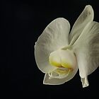Profile of an Orchid by discerninglight
