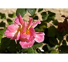 Brushed Pink Rose Photographic Print