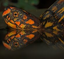 Box Turtle Reflection by Andreas Mueller
