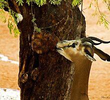 Mhorr Gazelle (Nager dama) by Maria A. Barnowl