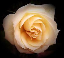 cream rose by cynthiab