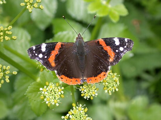 Red Admiral by cappa